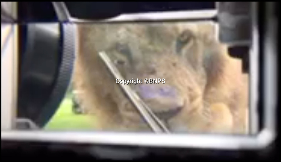 BNPS.co.uk (01202 558833)<br /> Pic: Longleat/BNPS<br /> <br /> Lockdown - view up the peiscope from inside the tank...<br /> <br /> Longleat's infamous troop of mischievous monkeys, along with the parks other wiley inhabitants, have been wreaking havoc on unsuspecting motorists for decades.<br /> <br /> But even they were a little overwhelmed when they came face to face with the might of the British Army this week.<br /> <br /> Soldiers from the 1st Battalion The Yorkshire Regiment, based in nearby Warminster, took one of their Warrior armoured vehicles through some of the Wiltshire safari park's most notorious enclosures.<br /> <br /> And despite the animals obvious interest the 27.5 tonne, six-metre-long caterpillar tracked vehicle eventually emerged without a scratch.<br /> <br /> The Army were visiting the park ahead of a new military spectacular event which is taking place on the estate later this month.
