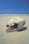 Skull Of Loggerhead Turtle On Beach