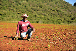 A Cuban farmer plantz yucca on a field at the base of the mountains near Vinales, Cuba