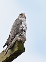 Adult gyrfalcon perched on a power pole and scanning the territory for prey.<br />