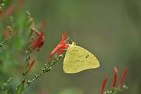 Cloudless Sulphur (Phoebis sennae), Hill Country, Texas, USA