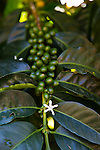 Typica Arabica Coffee growing on Rusty's Hawaiian Coffee, known as cherry, growing on the coffee farm in an area called Cloud Rest in the district of Ka'u on the Big Island of Hawaii, USA, America