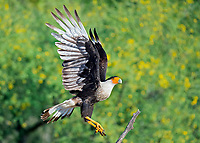 Northern Crested Caracara, Caracara cheriway, flying in for a landing, Texas, USA