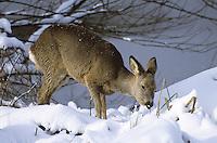 Europäisches Reh, Rehwild, Reh-Wild, Weibchen, Ricke im Schnee, Winter, Capreolus capreolus, roe deer