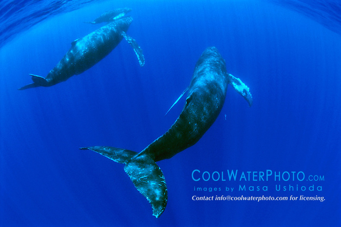 humpback whales, mother, calf, and escort, .Megaptera novaeangliae, .note mother?s damaged fluke possibly .due to predatory attack, Hawaii (Pacific)