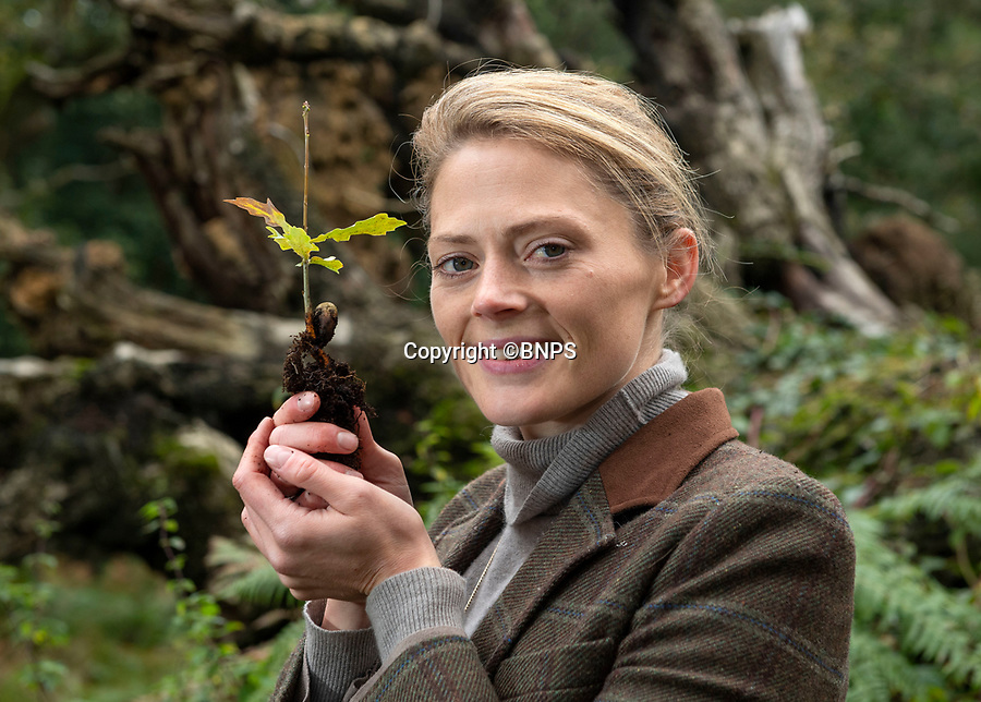 BNPS.co.uk (01202 558833)<br /> Pic: PhilYeomans/BNPS<br /> <br /> Old and the new - Rural manager Rachel Brodie with one of the tiny saplings next to an ancient fallen oak.<br /> <br /> Ancient oaks harvested for tiny acorns...<br /> <br /> Foresters at Blenheim Palace have painstakingly gathered 3,000 acorns in a bid to guarantee the future of Europe's largest gathering of ancient oak trees.<br /> <br /> They were picked up in High Park, a wooded area of the 2,000 acre Blenheim Estate in Oxon, Sir Winston Churchill's birthplace.<br /> <br /> It was originally created by Henry I as a deer park in the 12th century, with some surviving trees still standing 900 years on.<br /> <br /> The tiny oaks are currently being raised in glasshouses and small plantations and will eventually be planted across the estate.<br />  <br /> It is hoped the saplings, all direct descendants of the original trees, will help ensure the legacy of Blenheim's ancient oaks lives on for centuries to come.