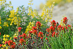 Paintbrush and yellow bush lupine at Pescadero State Beach