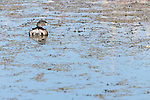 Brazoria County, Damon, Texas; a Pied-billed Grebe (Podilymbus podiceps) resting on the surface of the slough in early morning sunlight