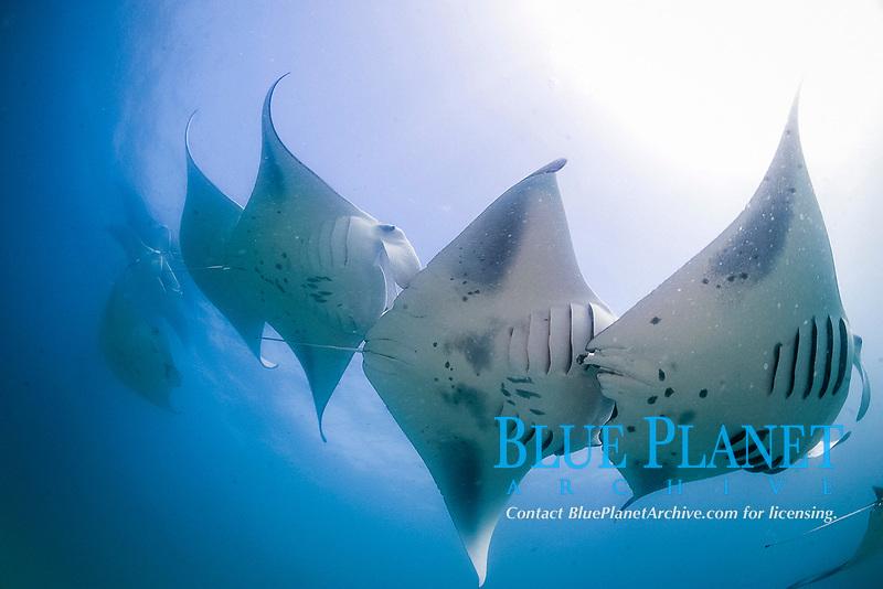 The underbellies of a school of reef manta rays, Manta alfredi, feeding, Republic of Maldives, Laccadive Sea, Indian Ocean