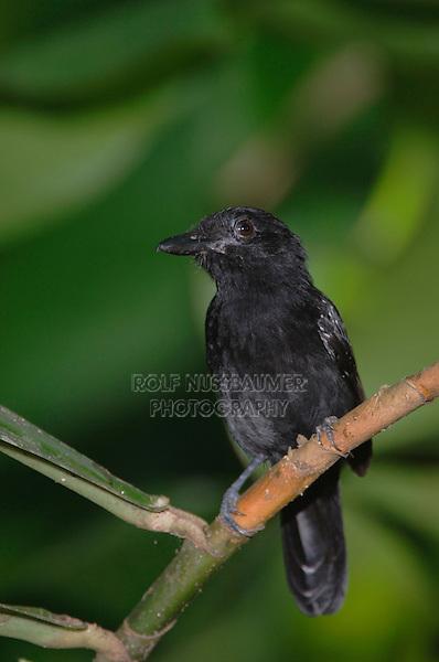 Black-hooded Antshrike, Thamnophilus bridgesi, adult perched, Carara Biological Reserve, Central Pacific Coast, Costa Rica, Central America