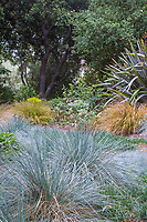 Gray foliage Blue Oat Grass (Helictotrichon sempervirens) with green grass in California meadow garden, David Fross