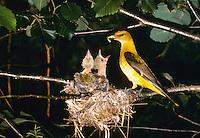 Pirol, Männchen füttert Küken im Nest, Oriolus oriolus, golden oriole