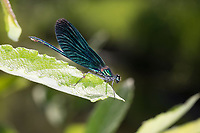 Blauflügel-Prachtlibelle, Prachtlibelle, Männchen, Calopteryx virgo, bluewing, Beautiful Demoiselle, demoiselle agrion, male, le Caloptéryx vierge, le Agrion vierge, Prachtlibellen, Calopterygidae
