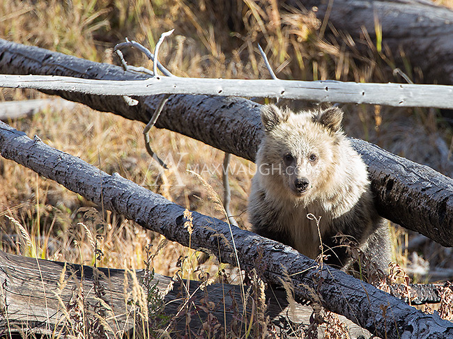 "A grizzly bear cub (nicknamed ""Snow"" by some due to its light fur) explores deadfall near Yellowstone Lake."