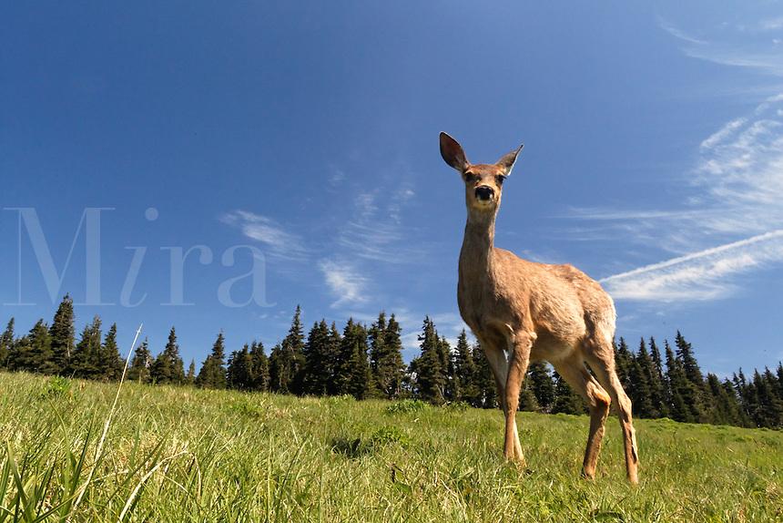 Female mule deer, Huricane Ridge, Olympic National Park, Washington, USA
