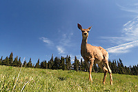 Female mule deer, Huricane Ridge, Olympic National Park, Washington, USA