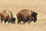 Bison Herd, The Crane Trust