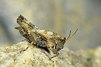 Gemeine Dornschrecke, Männchen, Tetrix undulata, Tetrix vittata, Common ground hopper, Common groundhopper, male, Dornschrecken, Tetrigidae, grouse locusts, pygmy locusts, groundhoppers, pygmy grasshoppers