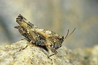 Gemeine Dornschrecke, Männchen, Tetrix undulata, Tetrix vittata, Common ground hopper, Common groundhopper, male, Dornschrecken, Tetrigidae, grouse locusts, pygmy locusts, groundhoppers, pygmy grasshoppers