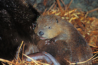 American Beaver (Castor canadensis) kit resting next to mom inside beaver lodge.