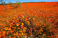 Namaqualand wildflowers,  Namaqua National Park, South Africa  a  One of the world's largest wildflower blooms  Dimropotheca sp.