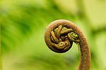 Fern frond unfurling, Tawau Hills Park, Sabah, Borneo, Malaysia