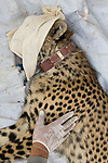 Cheetah (Acinonyx jubatus) biologist, Milan Vinks, collaring twenty-one month old sub-adult female, Kafue National Park, Zambia