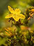 Common St. John's Wort wildflower
