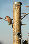 House finch,  male on backyard feeder.
