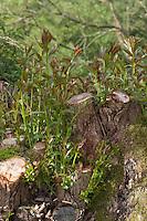 Kopfweide, Kopf-Weide als Lebensraum für viele Tiere, frischer Ausschlag einer gescheitelten Weide, frische Triebe, Weide, Salix spec., Kopfbaum, pollard-willow, pollard willow, pollarded willow