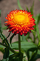 Helichrysum monstrosum 'Fireball Red', mid July.