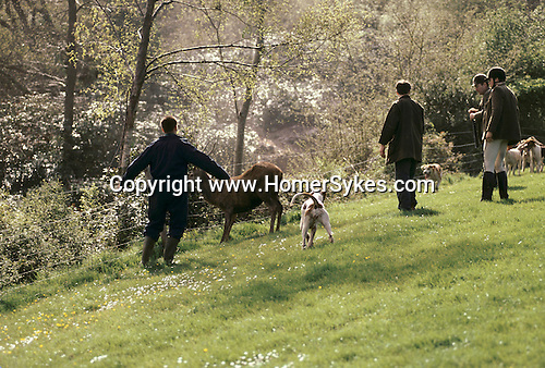 'QUANTOCK STAG HOUNDS', QUANTOCK, SOUTH SOMERSET. THE END OF THE HUNT, THE HOUNDS ARE AT 'BAY' THE STAG TRAPPED, 1997