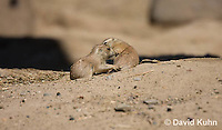 0601-1012  Young Black-tailed Prairie Dog Pups Wrestling, Cynomys ludovicianus  © David Kuhn/Dwight Kuhn Photography