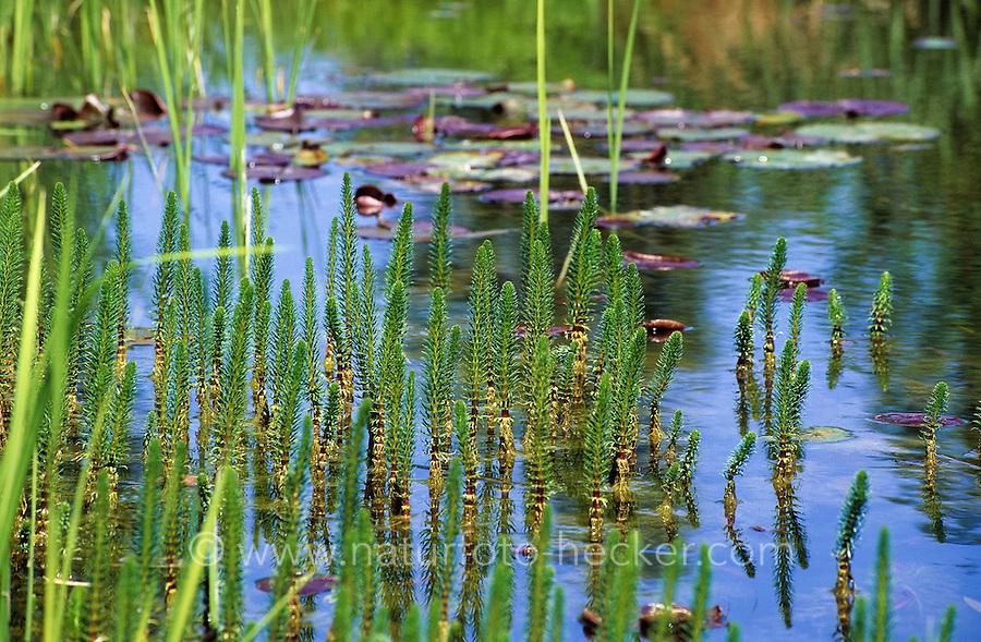 Tannenwedel, Tannen-Wedel, Hippuris vulgaris, Common Mare's tail