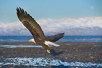 Bald Eagle, Homer, Southcentral Alaska