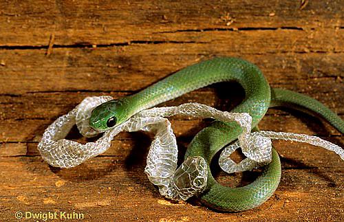 1R04-099b  Smooth Green Snake - molting skin - Opheodrys vernalis