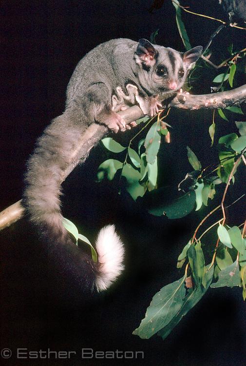 Sugar Glider (Petaurus breviceps) Southeastern Australia.