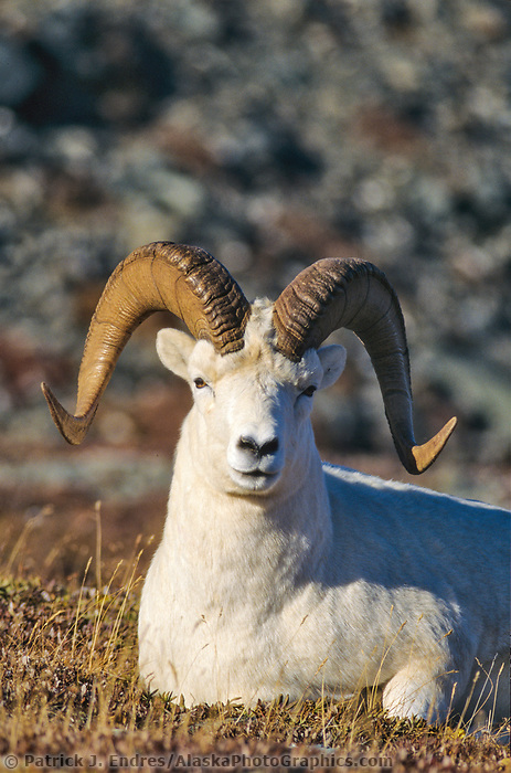 Dall sheep ram rests on the autumn tundra in the Alaska mountain range, Denali National Park, Alaska.