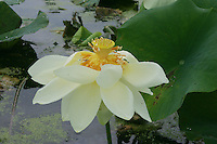 Nelumbo lutea<br /> NJ, Mannington Marsh<br /> rare plant in NJ