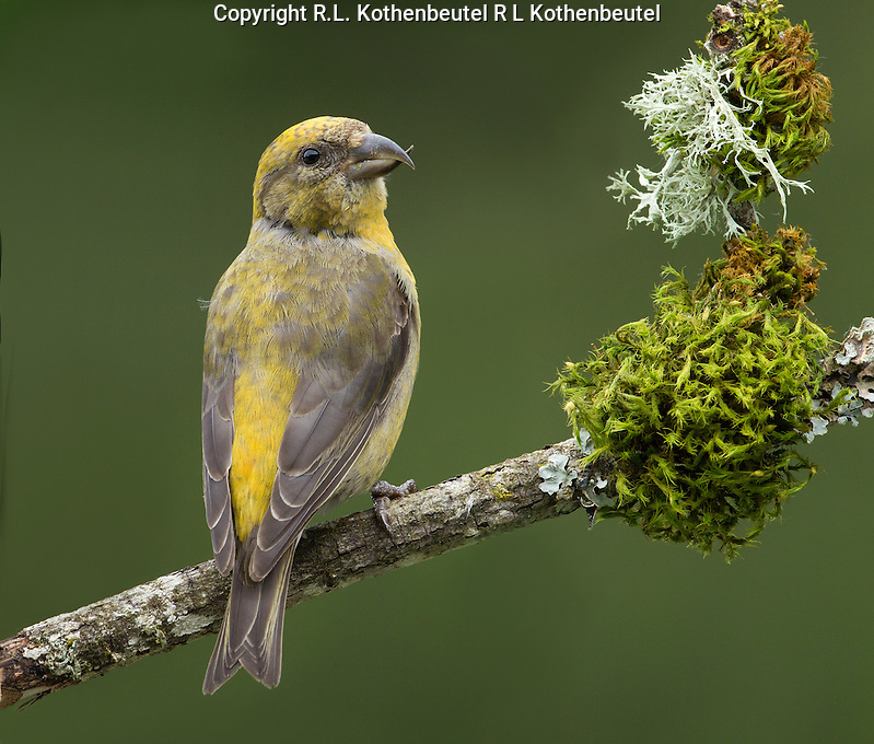 Red crossbill (Loxia curvirostra) Adult female perched on a moss and lichen decked snag.<br />