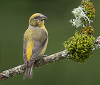 Red crossbill (Loxia curvirostra) Adult female perched on a moss and lichen decked snag.<br /> Woodinville, King County, Washington State<br /> 6/3/2012