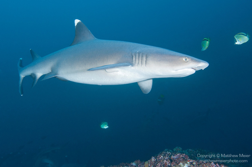 Cocos Island, Costa Rica; a pregnant Whitetip Reef Shark (Triaenodon obesus) swimming over the rocky reef during the day