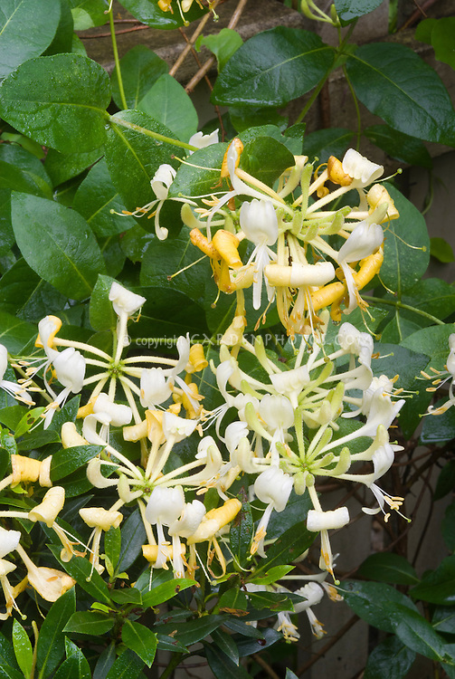 Lonicera Periclymenum U0027Scentsationu0027 In Yellow And White Fragrant Scented  Garden Flowers, Climbing Vine