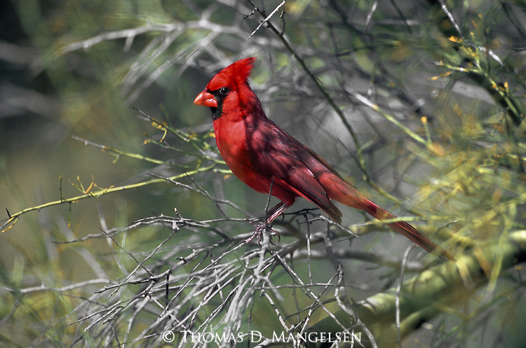 At the extreme western edge of its habitat, perched in a palo verde, a Northern Cardinal, with its resplendent plumage, takes some visitors to the arid southwest by surprise.