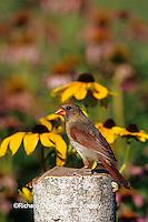 01530-152.20 Northern Cardinal (Cardinalis cardinalis) female on birch fence near flower garden Marion Co.  IL