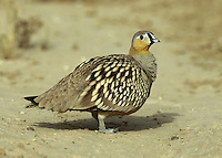 Crowned Sandgrouse - Pterocles coronatus