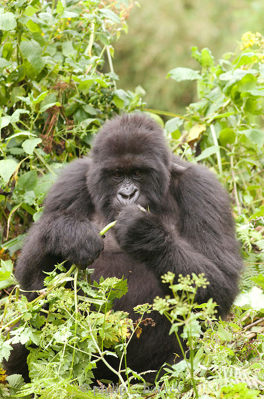 Silverback Gorilla foraging and eating plants in the Virunga Mountains, Parc National Des Volcans, Rwanda