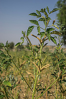Exemplary rain-fed guar being grown in a Demo Plot in Runiya Badabaas village, Bikaner, Rajasthan, India on October 23, 2016. Non-Profit Organisation Technoserve works with Guar farmers in Bikaner to provide technical farming knowledge to them, improving their crop yield through good agricultural practices. Photograph by Suzanne Lee for Technoserve