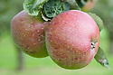 Apple 'Mere de Menage', mid September. An old culinary apple from the 1700s. Exact origin unknown, but perhaps thought to be from Denmark. Earlier synonyms of 'Combermere' or 'Lord Combermere' suggest that someone of that name introduced it to England. Other synonyms include 'Flander's Pippin' and 'Queen Emma'.