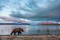 Brown bear walks along the pumice shore of Naknek lake, Kejulik mountains in the distance, Katmai National Park, southwest, Alaska.